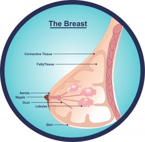 lactation-breast